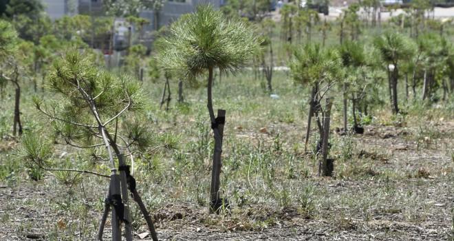 Pendik Belediyesi' nin Diktiği Fidanlar Ağaç Olmaya Başladı